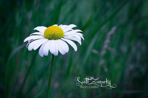 Обои Ромашка в траве, by Zanarky
