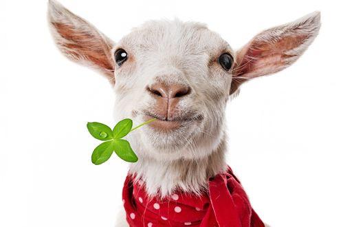 Обои Коза с красным шарфиком на шее, держит в зубах листочек клевера