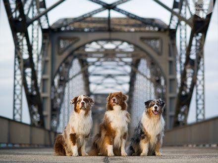 Обои Три собаки сидят на мосту (Австралийские овчарки)