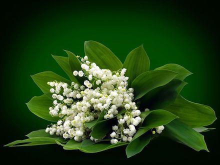 Обои Букет белых ландышей с зелеными листьями на зеленом фоне
