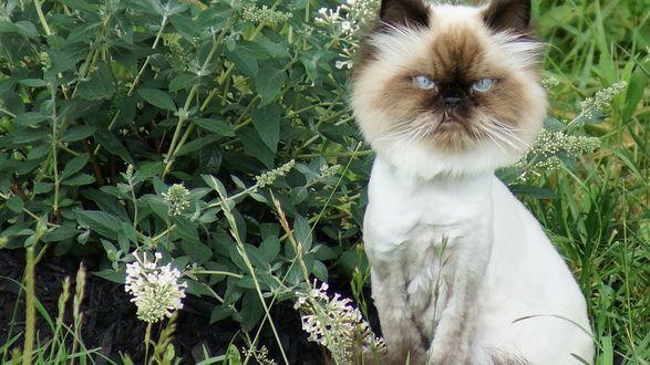 Обои Грозный кот, подстриженный под льва выставил свой клык, сидит на фоне травы