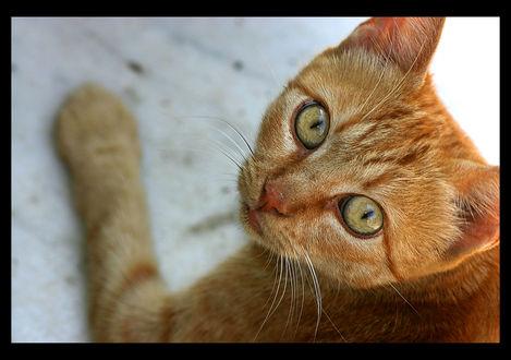 Обои Рыжий кот смотрит на нас