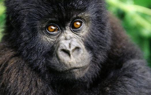 Обои Молодой детеныш гориллы