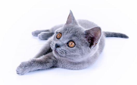 Обои Британская, короткошерстная кошка на белом фоне