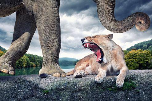Обои Львица открыла пасть на слона, который наступил ей на хвост
