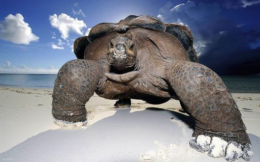 Обои Громадная морская черепаха идет по песку