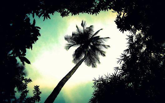 Обои Одиноко растущая кокосовая пальма, вид снизу