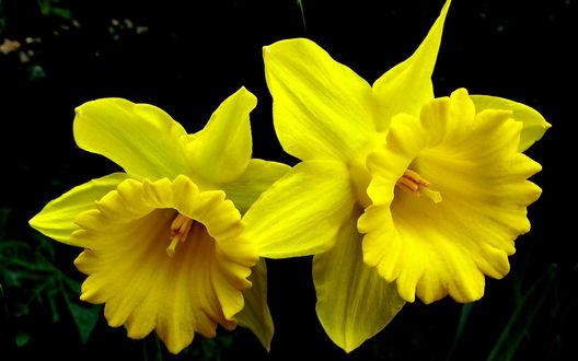 Обои Два желтых нарцисса на темном фоне