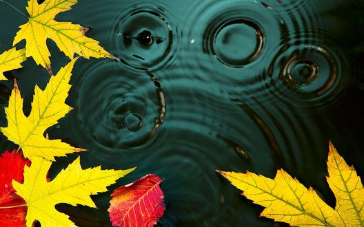 Обои Опавшие желтые и красные листья на зеленой воде с каплями и кругами