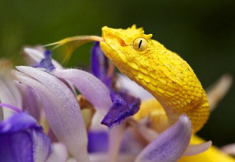 Обои Желтая змея на сиреневых цветах