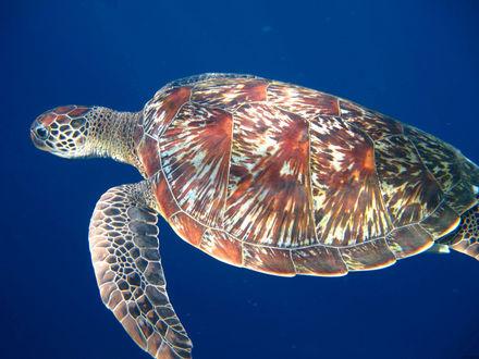 Обои Большая морская черепаха с красивым узором панцыря, плывет под водой