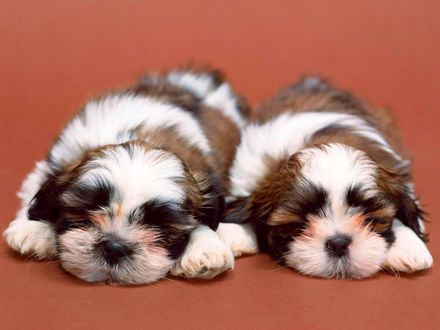Обои Два прелестных щенка ши-тцу спят рядом