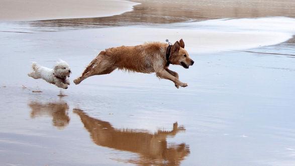 Обои Собаки резвятся, бегая по покрытому водой морскому пляжу