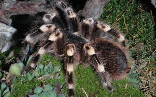 Обои Огромный лохматый паук тарантул