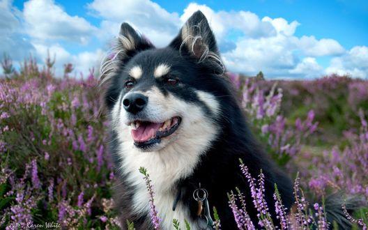 Обои На фоне неба, среди цветущего ландшафта сидит собака, by Karen Wbite
