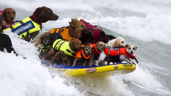 Обои Собаки спасатели в спасательных жилетах, в надувной лодке спешат на помощь