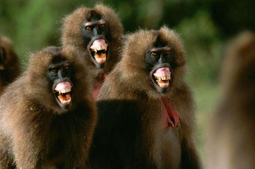 Обои Тройка прикольных обезьян смеются над людьми