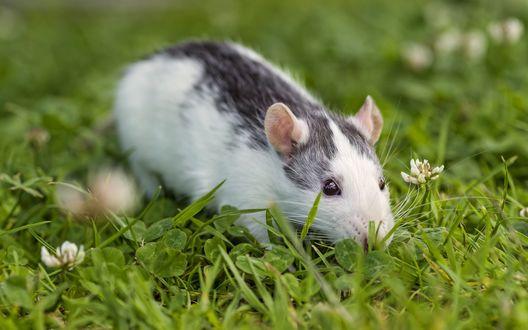Обои Мышь сидит в траве