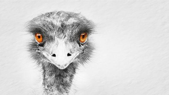 Обои Черно-белый рисунок головы страуса с желтыми глазами