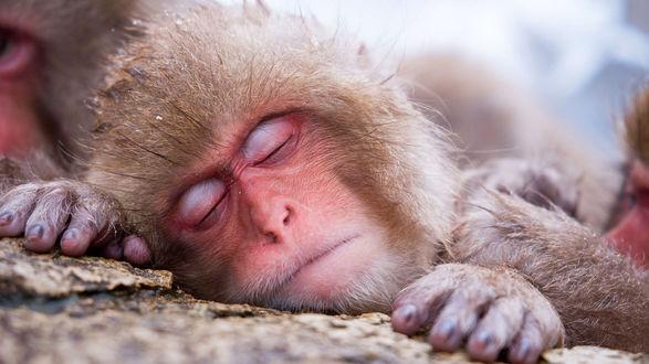 Обои Японская макака спит, положив голову и руки на камень