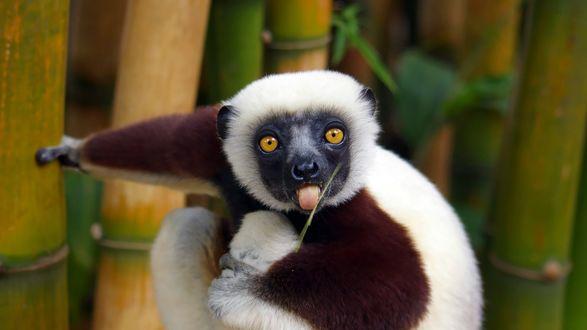Обои Лемур виставил язык, облизывая зеленый побег, сидя на фоне стволов бамбука