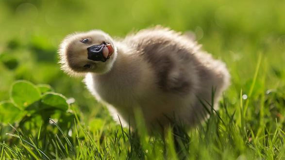 Обои Любопытный птенец лебедя в зеленой траве, фотограф Полюшко Сергей