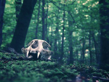 Обои Череп хищника лежит на земле в лесу