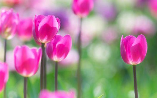Обои Яркие розовые тюльпаны на размытом фоне