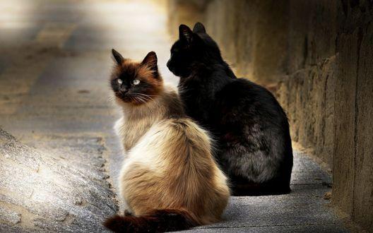 Обои Две кошки балинезийская и черная сидят на улице