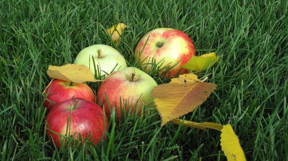 Обои Яблоки лежат в зеленой траве, среди опавших осенних листьев