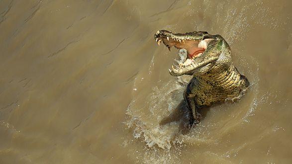 Обои Аллигатор выпрыгнул из мутной воды, разинув зубастую пасть