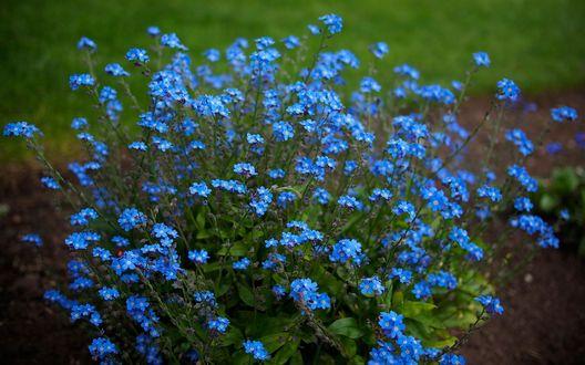 Обои Куст голубых незабудок