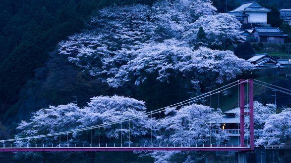 Обои Над мостом на склоне горы, стоят дома и растут цветущие сакуры