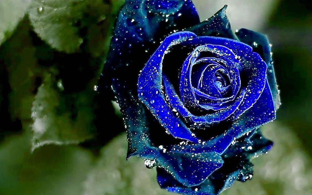 Обои для рабочего стола Синяя роза с зелеными листьями в каплях воды