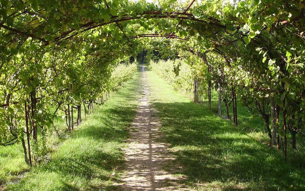 виноградные арки фотогалерея являются