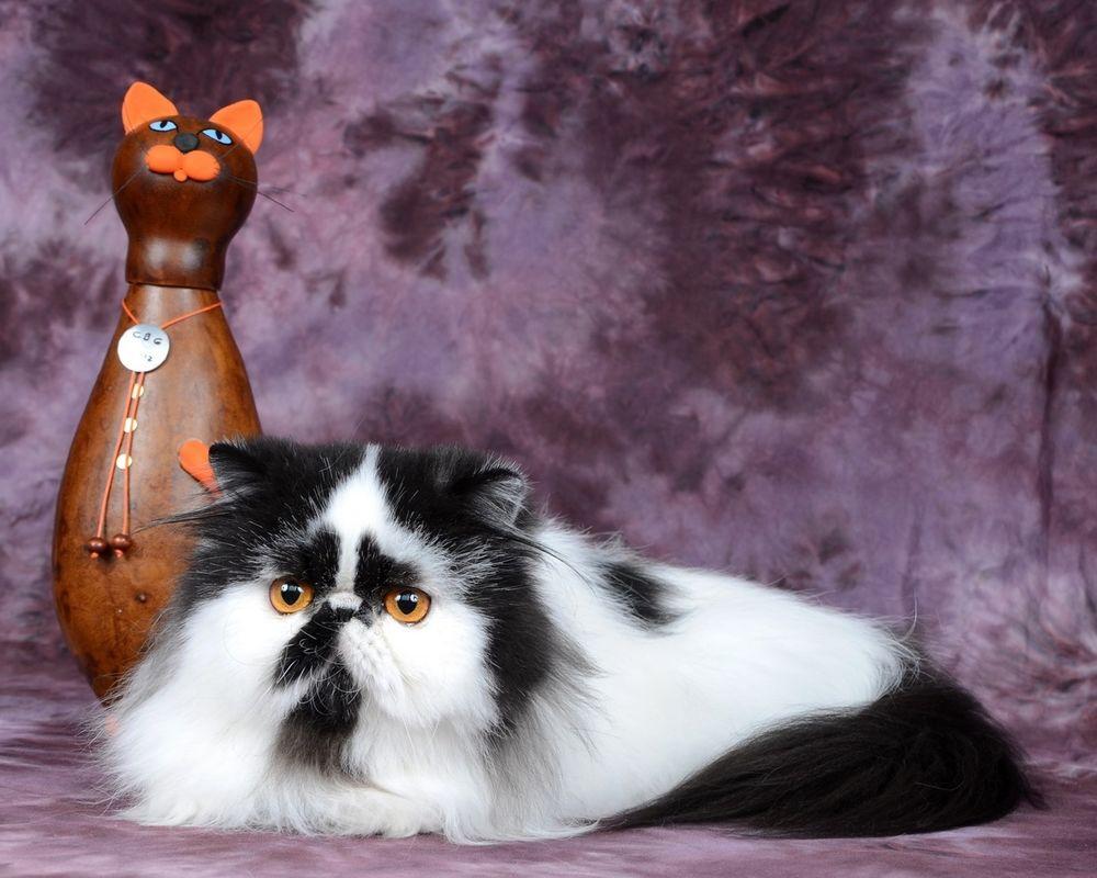 обои кошки для рабочего стола персы № 623724 бесплатно