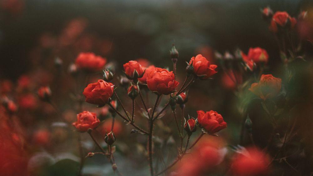 Розы обои на рабочий стол