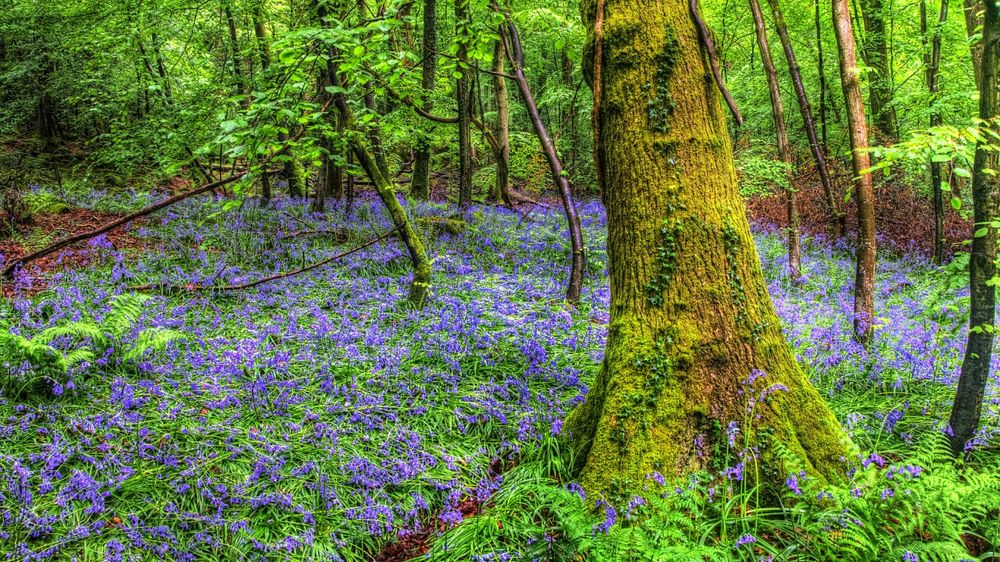 Обои Голубые цветы на полянке, в лесу возле деревьев на ...