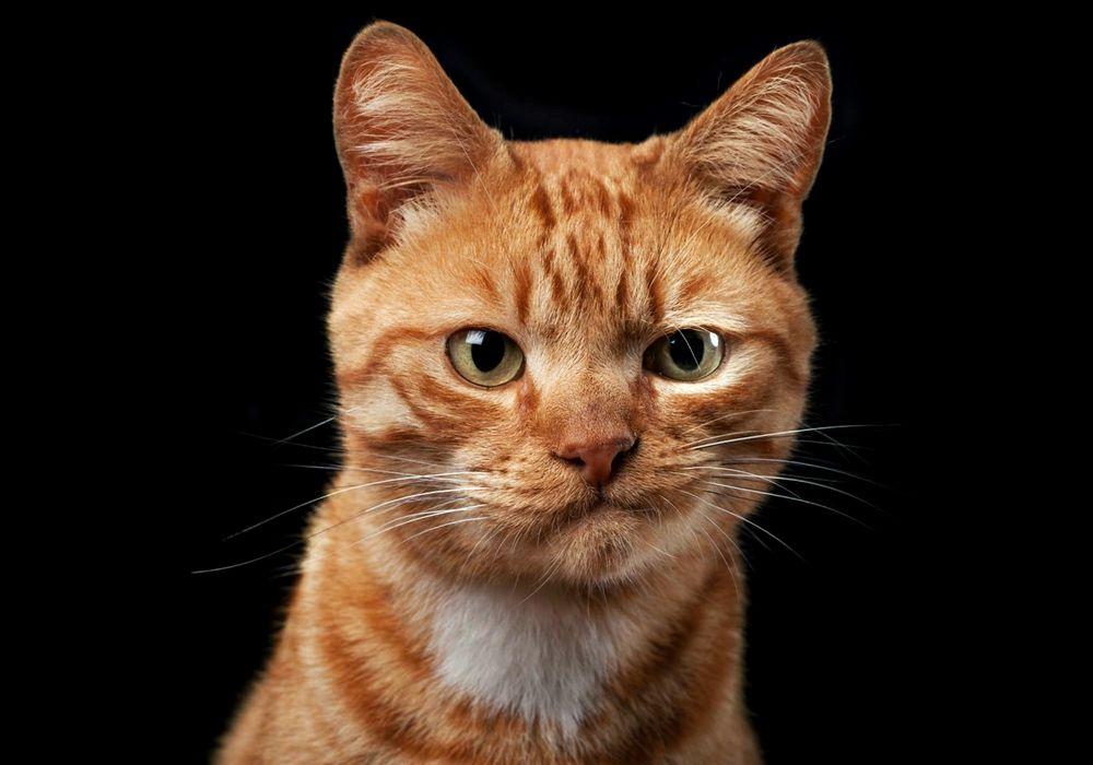 Обои Рыжий кот с недовольной ухмылкой, на черном фоне на рабочий стол