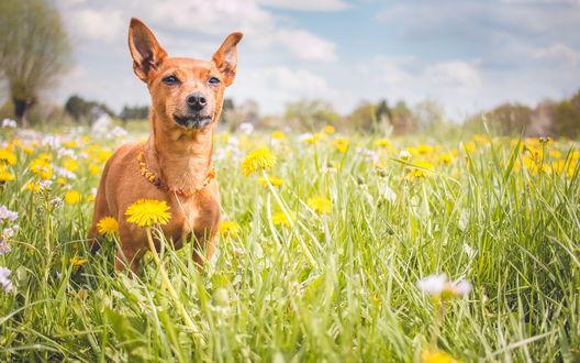 Обои Собака стоит в зеленой траве среди одуванчиков