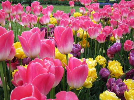 Обои Цветочная поляна из розовых, фиолетовых и желтых тюльпанов
