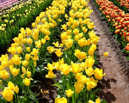 Обои Ровные ряды разноцветных тюльпанов на цветочном поле