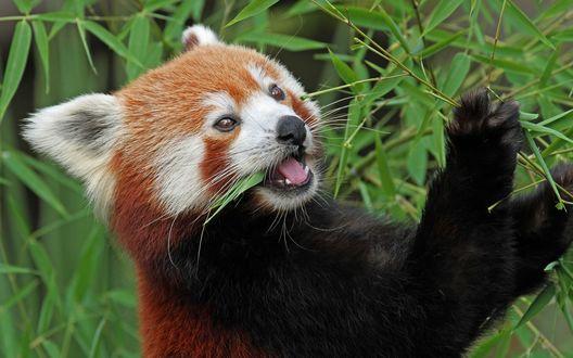 Обои Красная панда жует листочки бамбука
