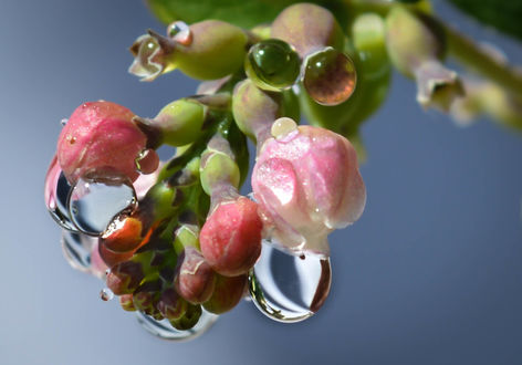 Обои Нераспустившийся розовый цветок в каплях воды, by dashakern
