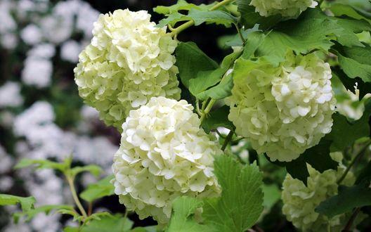Обои Белые цветы гортензии среди зеленых листьев