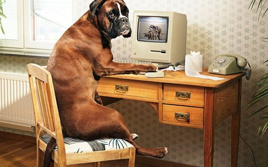 Обои В комнате за столом, на стуле сидит собака породы боксер у компьютера, на столе стоит телефон и рулон туалетной бумаги