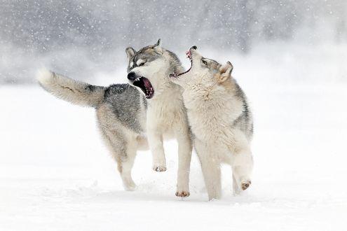 Обои Игра двух собак породы хаски на снегу, фотограф Андрей Ершов