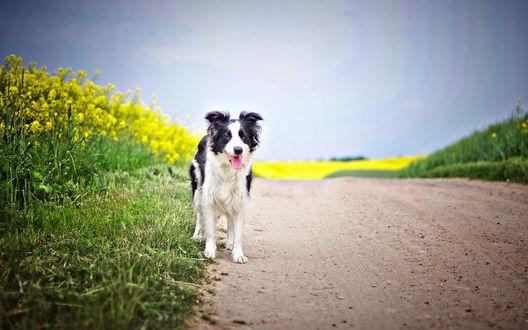 Обои Собака стоит на дороге, недалеко от желтых цветов рапса