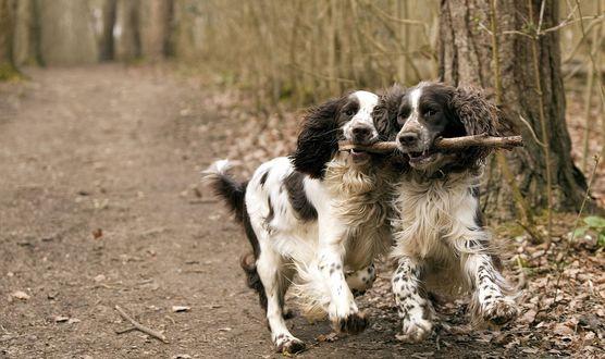 Обои Две собаки охотничьей породы бегут, пытаясь вырвать палку друг у друга