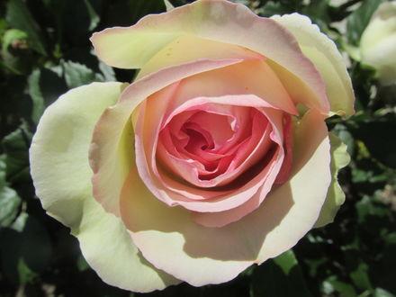 Обои Нежная роза крупным планом